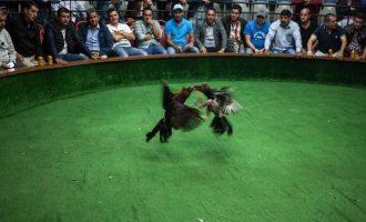 Cockfighting-Tour-Bachelor-Party-Cartagena-8